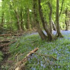 Boothland_bluebells (2)