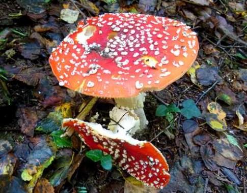 fungi__1_fly__agaric