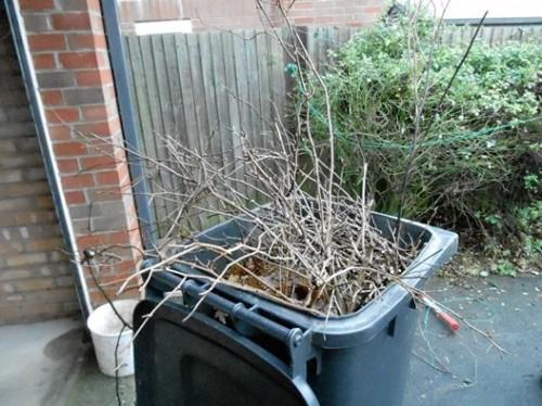 Dead wood removed from a floribunda rose bush