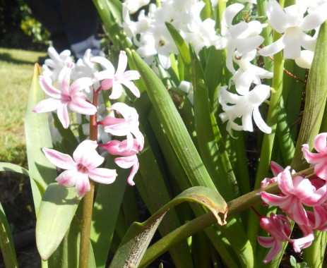 anonymous_gardener_april_7_hyacinth