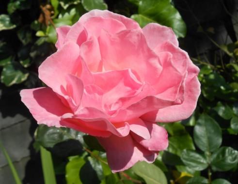 Rose in an Uckfield garden.