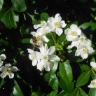 A bee enjoying the orange blossom bush