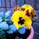 Winter pansies giving a pretty show