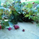 Cut down - a large rose bush ahead of the winter storms
