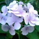 Hydrangea still in bloom.