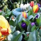 Dwarf tulips and crocuses made good bedfellows in large tubs