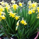 Tete and tete dwarf daffodils