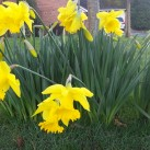 Daffodils ready for St David's Day