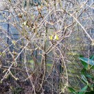 Even the forsythia is starting to bloom