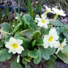 Polyanthas have bloomed on and off through the winter