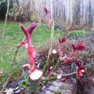 Roses growing away after an early February pruning