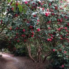 A tunnel of camellia.