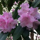 More rhododendrons.