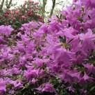 Pretty azaleas.
