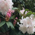 A mix of buds and blooms on this rhododendron