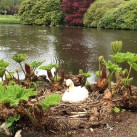 The swan was totally unphased by  visitors passing close by its nest.