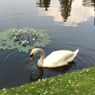 sheffield park swan 3