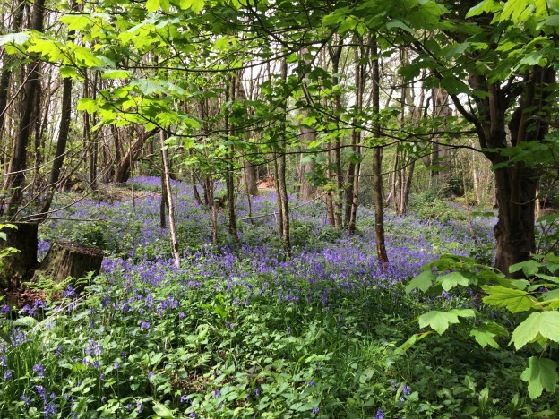 Bluebells in Views Wood.