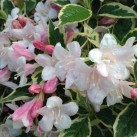 Weigela with delicate pink and white blooms