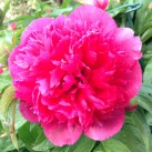 Peony - fabulous colour but proving to be short lived this year.