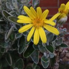 An early bloom from this drought resistant shrub which sits in a sunny position with restricted rainfall