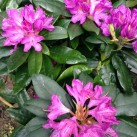 Our rhododenrons have flowered early this year