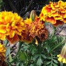 Marigolds - just about to be dead-headed.