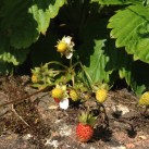 Ornamental strawberries