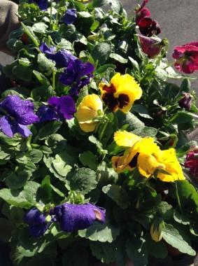 gardening-nov-14-pansies