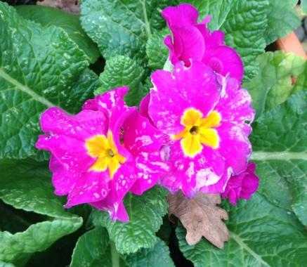 gardening-polyanthus-dec-14