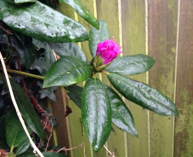 gardening-rhododendron-2-dec-14