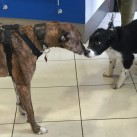 A real social occasion, Jake the lurcher meets Milo the border collie puppy.
