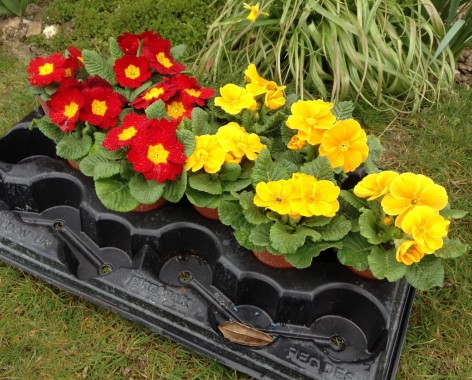 april2015-gardening-primulas