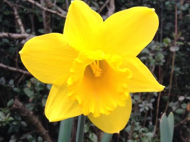 gardening-apr2015-daffodil-1