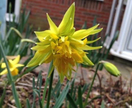 gardening-apr2015-daffodil-2