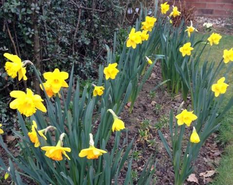 gardening-apr2015-daffodils