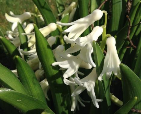 gardening-apr2015-hyacinths2