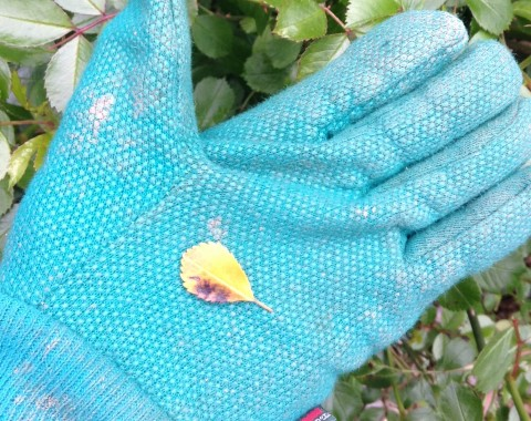 gardening-may-black-spot
