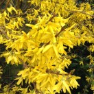 Bright forsythia.