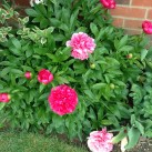The peonies are looking good and there are more buds still to open.