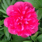 An explosion of colour from this peony.