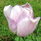 A delicate tulip tinged with purple.