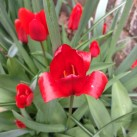 Silky red tulip.