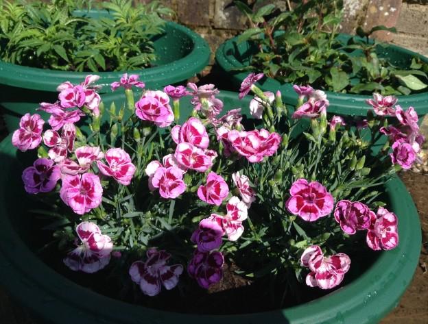 gardening-june-15-6