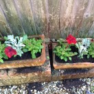 Petunias and cineraria silver leaf planted in pots.