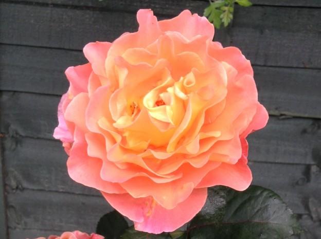 gardening-orange -rose1