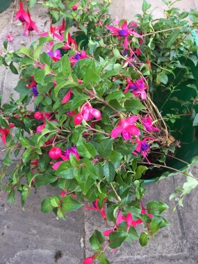Fuchsias binned while in bloom but you must make space for spring flowers