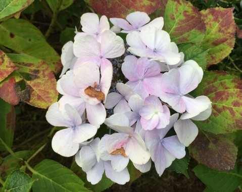A delicately-coloured hydrangea