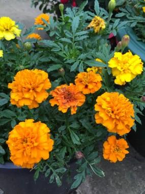 marigolds (2)