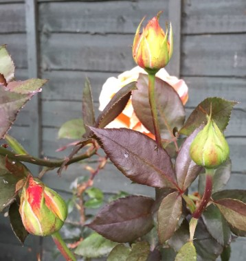 orange rose buds